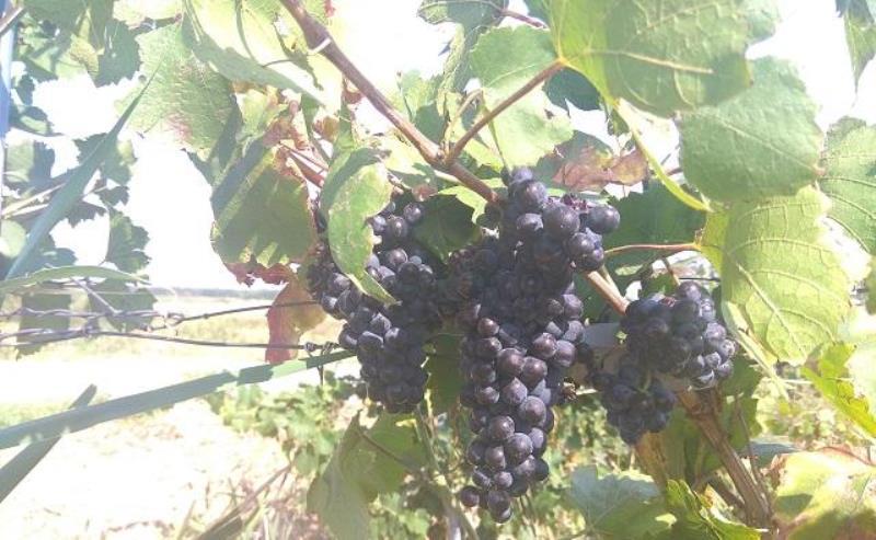 Виноделы требуют внести поправки в закон о виноделии