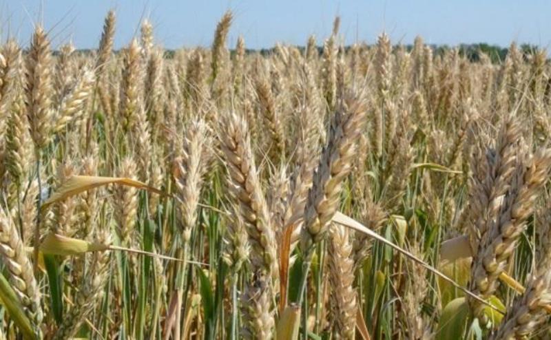 Из-за погодных условий Ростовская область потеряет часть урожая