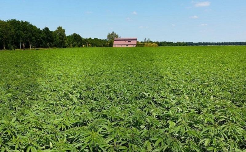 В Ростовской области будут легально выращивать коноплю