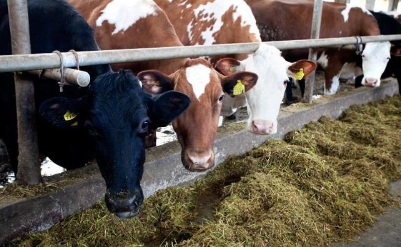 молочные фермы