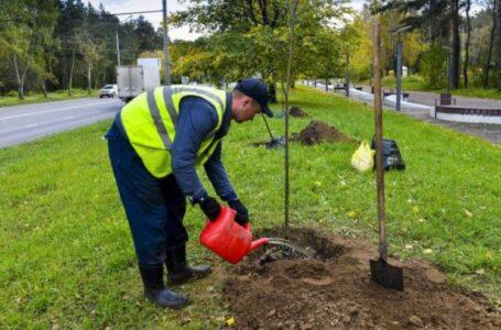 5,5 тысяч крупных деревьев посадят осенью в Ростове