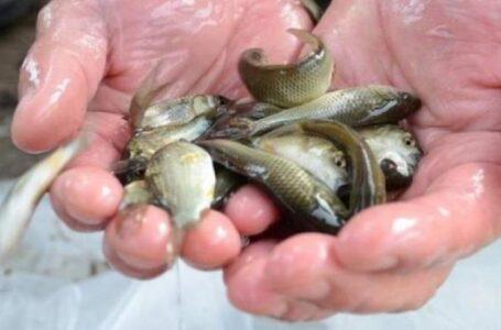 Для искусственного воспроизводства хотят запускать более крупного малька рыбы