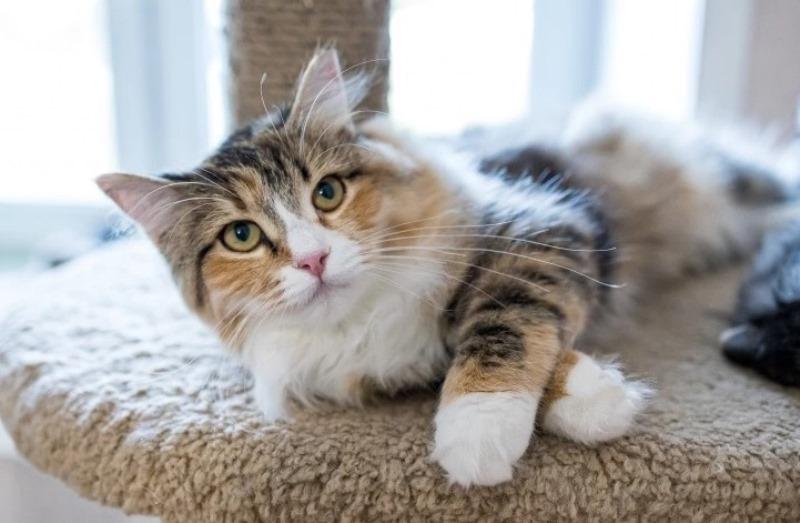 Большой спрос на сибирскую породу кошек у иностранцев